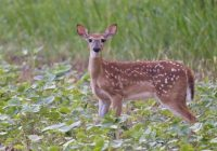 Whitetail Fawn In Soybeans