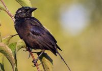 Young Common Grackle