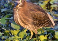 Green Heron With A Spider